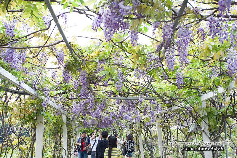 【淡水】如串串垂墜的紫葡萄,夢幻的紫色隧道.紫藤咖啡園(4/6花況) @Irene's 食旅.時旅