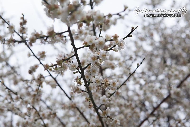 【士林】冷冽中的傲強性格.『志成公園』賞梅去(1/12花況) @Irene's 食旅.時旅