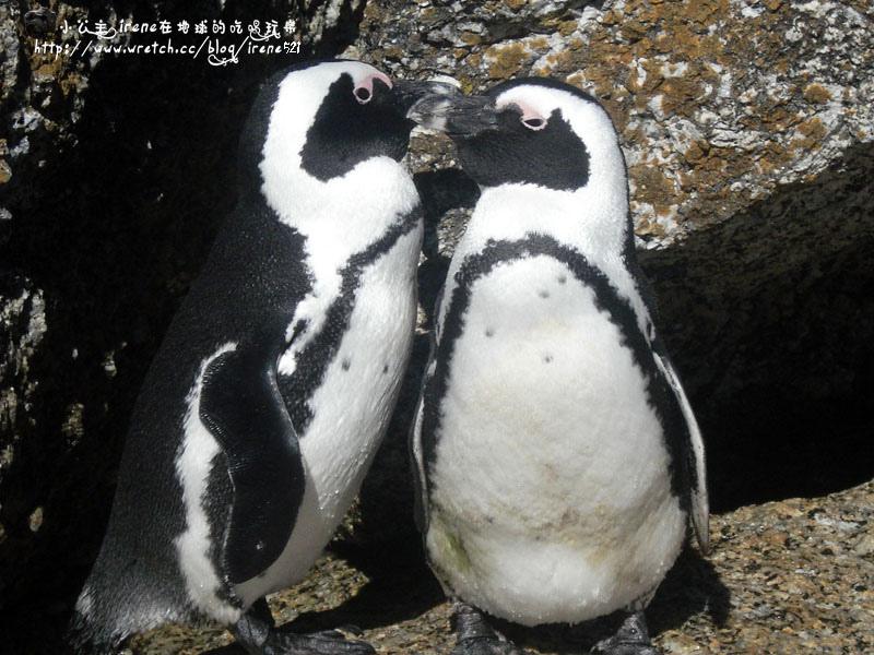 即時熱門文章:【南非開普敦】Boulders Beach‧野生企鵝自然保護區