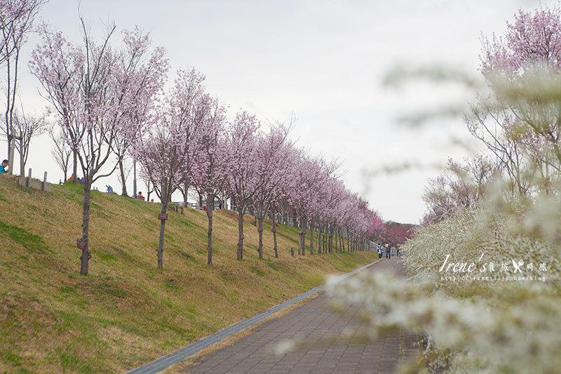 【大阪-賞櫻景點】櫻花圍繞日本最古老的蓄水池以及安藤忠雄作品的狹山池公園 & 狹山池博物館 @Irene's 食旅.時旅