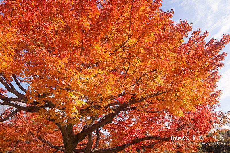 東京市區內的賞花古勝名庭,庭院火紅的楓葉掀開深秋的序曲.小石川後樂園