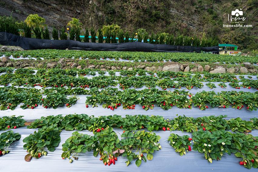 即時熱門文章:【苗栗大湖】苗栗大湖採草莓推薦,在地人才知道的隱藏版草莓園,隨便採都是又紅又大顆,一家草莓園