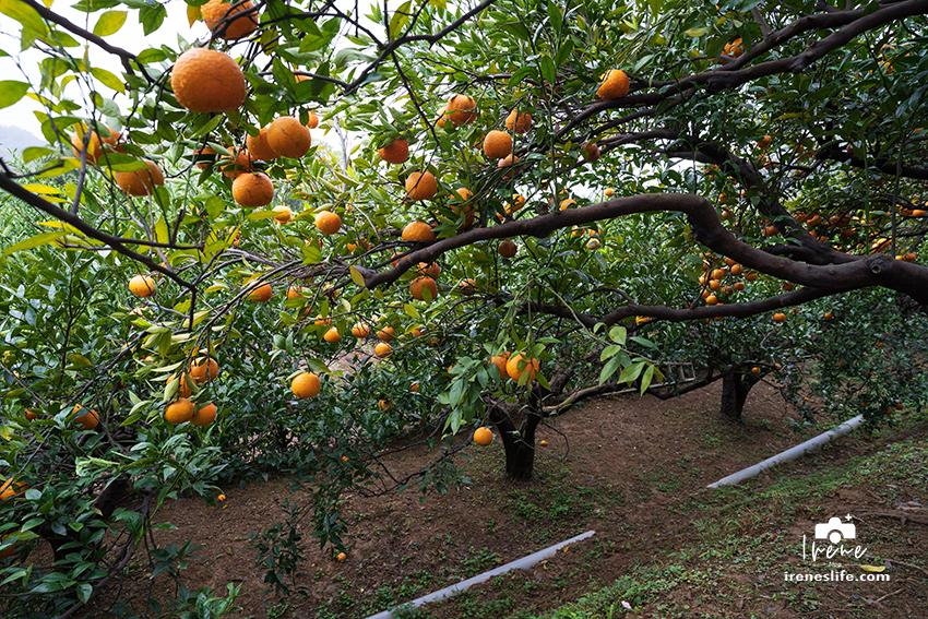 【苗栗】苗栗景觀餐廳,可以採橘子的橙香森林,橘子隧道、玻璃屋、大草皮、盪鞦韆、餵兔子的親子景點