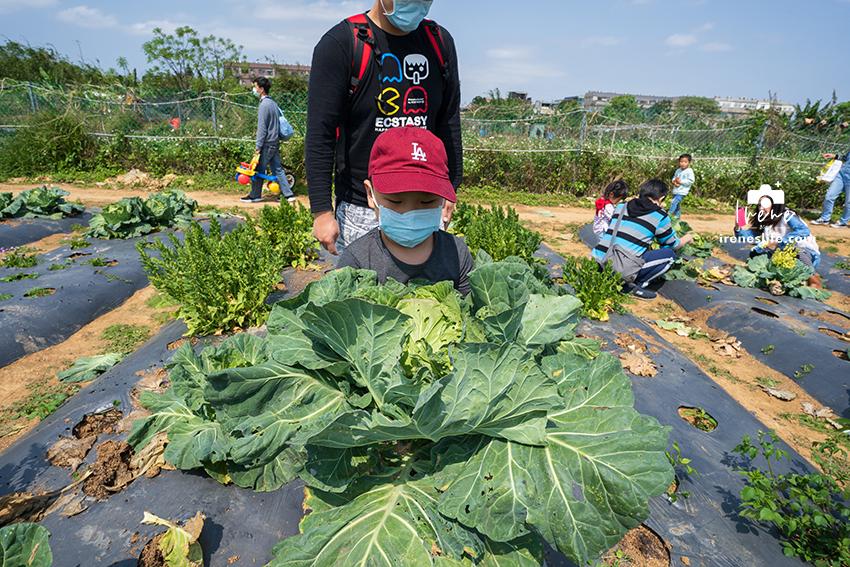 【桃園親子農場】都市裡的開心農場,採收高麗菜、蘿蔔、蔥、控窯,還有雞腿、甕仔雞可以品嚐.文新小農夫親子農園